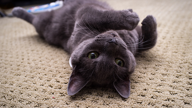russian blue on carpet