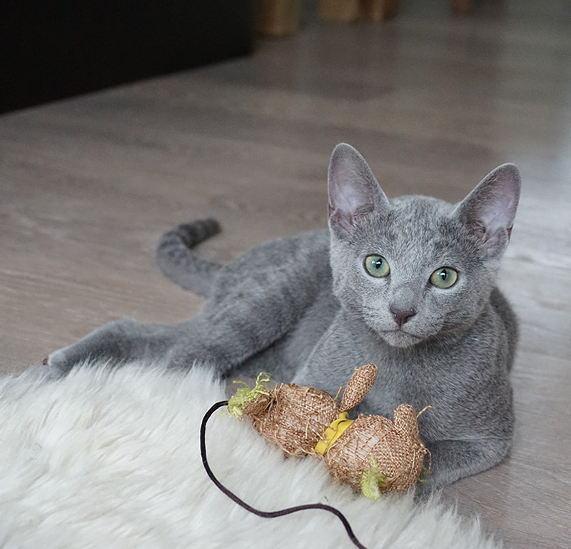 russian blue cat with toy