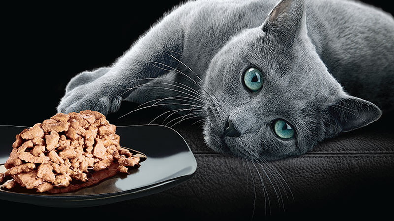 Russian blue cat lying on side with Sheba® cat food on plate
