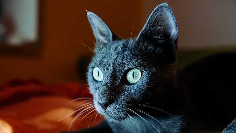 russian blue cat sitting on bed