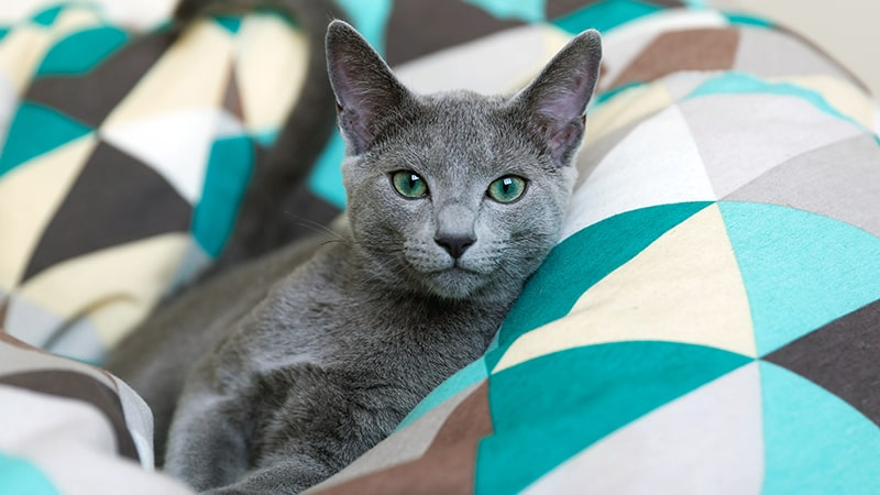 Russian Blue cat laying in blue bean bag chair