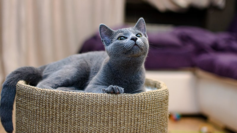 Russian Blue cat laying in bed