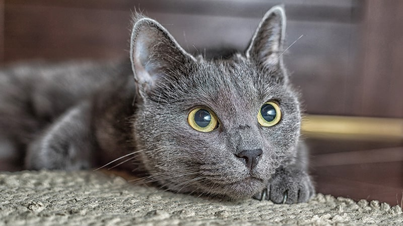 russian blue cat laying down looking up