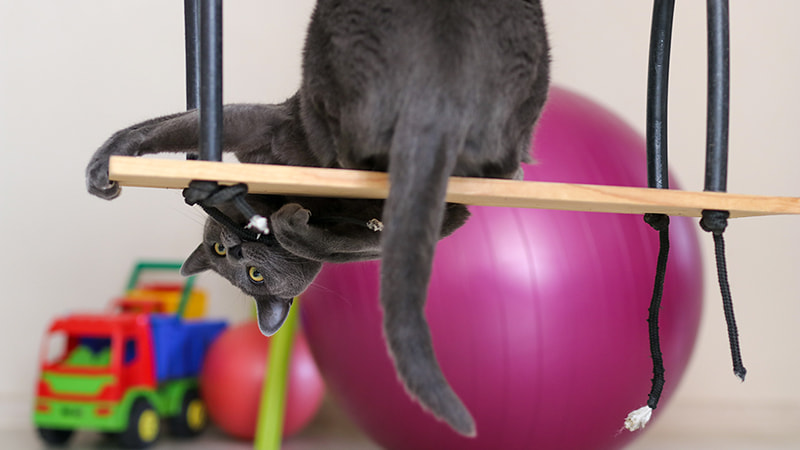 grey cat playing on a swing with other toys
