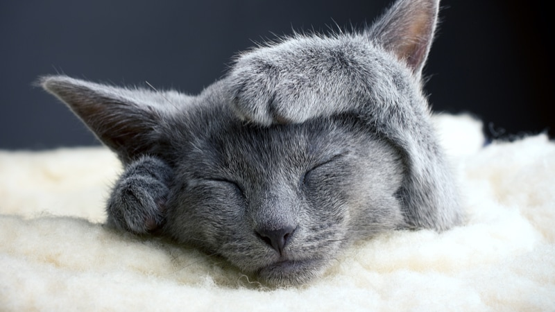 russian blue cat laying on blanket rubbing paws on head