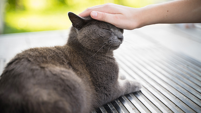 grey cat being pet on the head