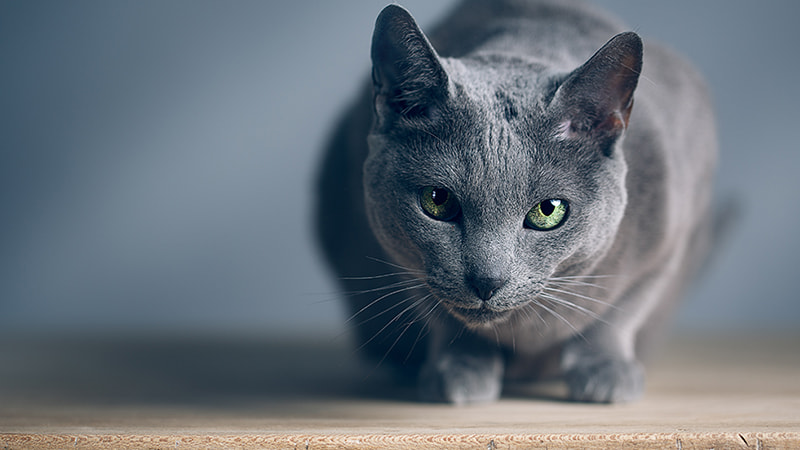 grey cat sitting on a table
