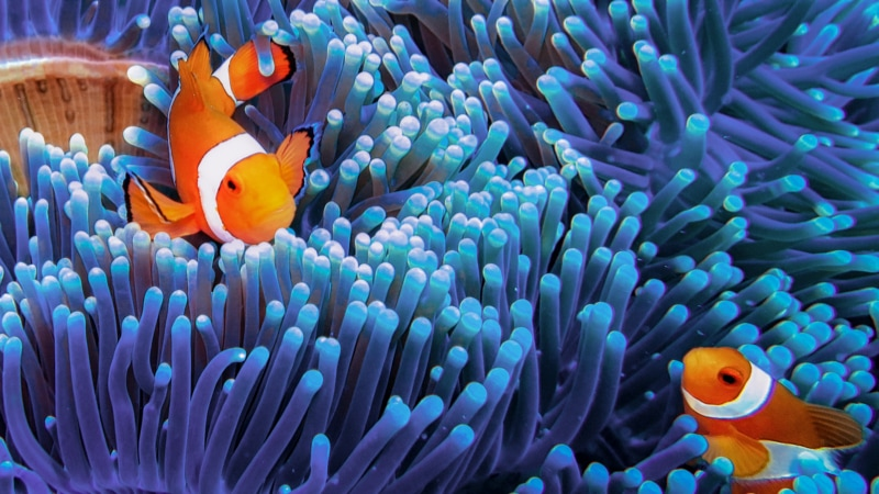 two clown fish swimming through anemone
