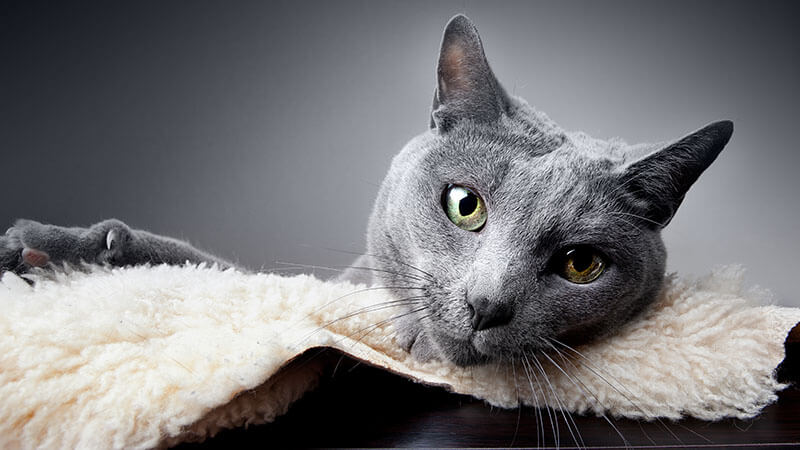 Russian blue cat lying on soft blanking looking ahead