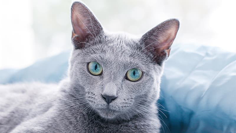 russian blue cat laying in the light