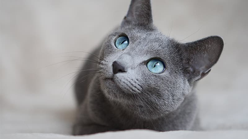 russian blue cat laying on floor looking up